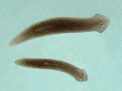 Flat worms asexual reproduction examples